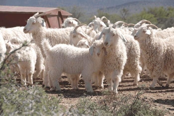 Angora Goat Flock